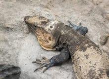 蜥蜴 免版税库存图片