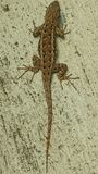 蜥蜴 库存图片