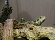 蜥蜴En歇息 图库摄影