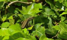 蜥蜴lagartija 库存图片