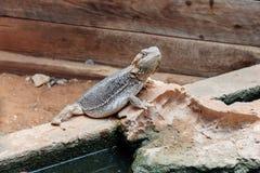 蜥蜴- Pogona vitticeps -有胡子的蜥蜴坐地面在澳大利亚动物园淦宗师在Kibutz Nir大卫在以色列 图库摄影