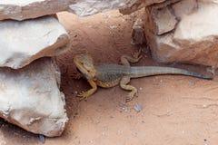 蜥蜴- Pogona vitticeps -有胡子的蜥蜴坐地面在澳大利亚动物园淦宗师在Kibutz Nir大卫在以色列 库存照片