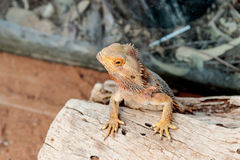 蜥蜴- Pogona vitticeps -有胡子的蜥蜴坐击倒的树在澳大利亚动物园淦宗师在Kibutz Nir大卫在以色列 免版税库存图片