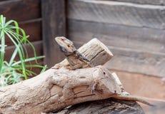 蜥蜴- Pogona vitticeps -有胡子的蜥蜴坐击倒的树在澳大利亚动物园淦宗师在Kibutz Nir大卫在以色列 免版税库存照片