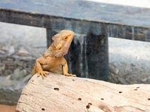 蜥蜴- Pogona vitticeps -有胡子的蜥蜴坐击倒的树在澳大利亚动物园淦宗师在Kibutz Nir大卫在以色列 库存图片