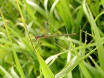 蜻蜓。 库存照片