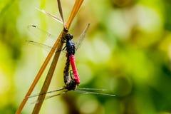 蜻蜓交配季节在自然背景中 图库摄影