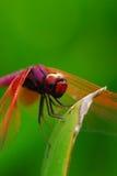 蜻蜓休息 免版税库存照片