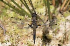蜻蜓充分的身体画象 免版税库存图片
