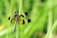 蜻蜓准备好的起飞 免版税库存照片