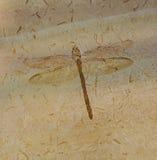 蜻蜓化石 免版税库存图片