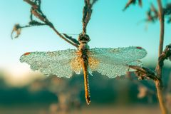 蜻蜓反对蓝天背景的背景的Sympetrum Vulgatum的一只美丽的昆虫 定调子 免版税图库摄影