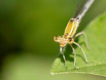 蜻蜓叶子桔子 库存照片