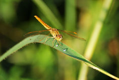 蜻蜓叶子 库存照片