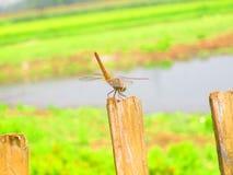 蜻蜓和湖在背景中 免版税库存图片