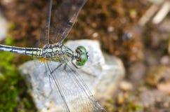 蜻蜓在室外庭院里 库存图片