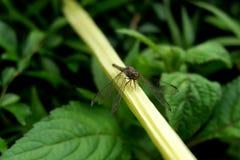 蜻蜓在肢体栖息有被弄脏的背景 免版税库存图片