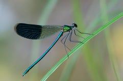 蜻蜓在草叶的Calopteryx splendens在河 库存图片