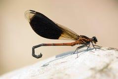蜻蜓地方性种类台湾 库存图片