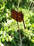 蜻蜓坐一棵竹树的brach在我的房子前面的 免版税库存图片