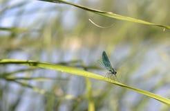 蜻蜓坐叶子 库存照片
