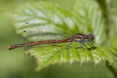 蜻蜓大nymphula pyrrhosoma红色 库存图片