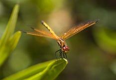 蜻蜓姿势 库存图片