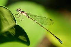 蜻蜓宏指令照片 免版税库存照片