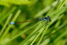 蜻蜓宏指令 免版税图库摄影