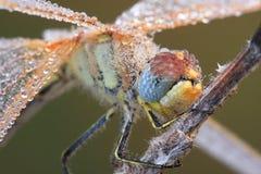 蜻蜓宏指令 免版税库存图片
