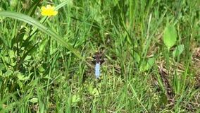 蜻蜓宽广有驱体的追赶者或宽广有驱体的突进者Libellula depressa男性从草叶离开,慢动作 股票视频