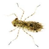 蜻蜓幼虫 免版税库存照片