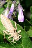 蜻蜓幼虫 免版税图库摄影