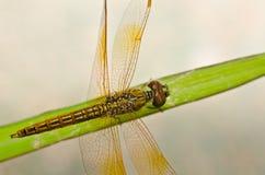 蜻蜓庭院 免版税库存图片