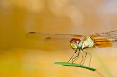 蜻蜓庭院 库存图片