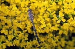 蜻蜓开花黄色 免版税库存照片