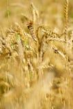 蜻蜓成熟麦子 免版税库存照片