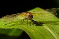 蜻蜓接近  库存图片