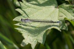 蜻蜓昆虫称矛头bluet非常详细和坐一片绿色叶子 免版税库存图片