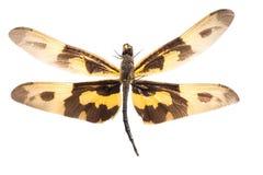 蜻蜓昆虫 免版税库存图片