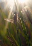 蜻蜓星期日等待 库存图片