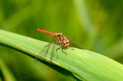 蜻蜓是昆虫生活在水身体附近 免版税库存照片
