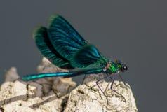 蜻蜓有一个非常长篇头,眼睛组成大约50,000 ommatidia和相对地短的天线;两pai 免版税库存图片