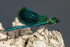蜻蜓有一个非常长篇头,眼睛组成大约50,000 ommatidia和相对地短的天线;两pai 库存图片