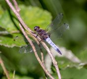 蜻蜓有一个非常长篇头,眼睛组成大约50,000 ommatidia和相对地短的天线 免版税图库摄影