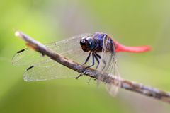 蜻蜓桃红色尾标 库存照片