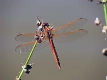 蜻蜓桔子 免版税库存照片