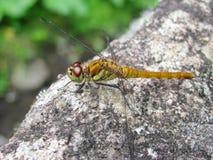 蜻蜓橙色坐的石头 库存图片