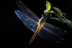 蜻蜓泰国 库存照片
