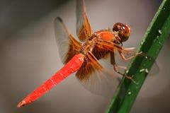 蜻蜓火红色尾标 库存照片